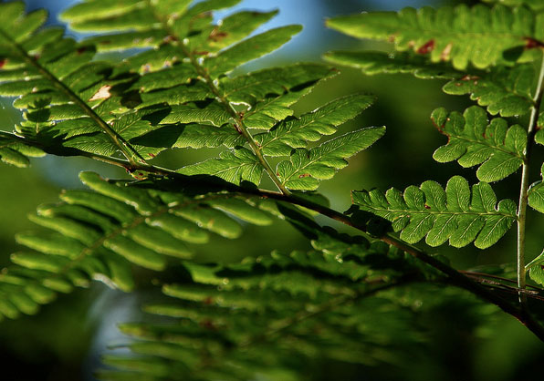 light-threw-the-fern